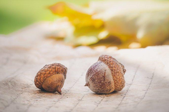 acorns-4572674_1920